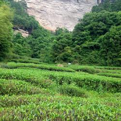 福建省・武夷山の茶畑。